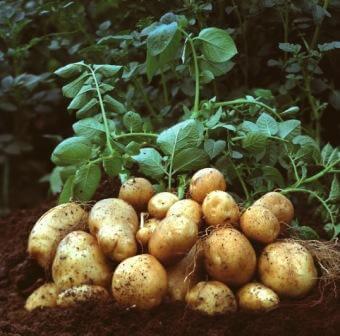propiedades y contraindicaciones de la patata