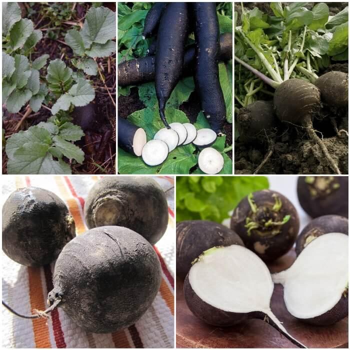 imagen: propiedades del rábano negro