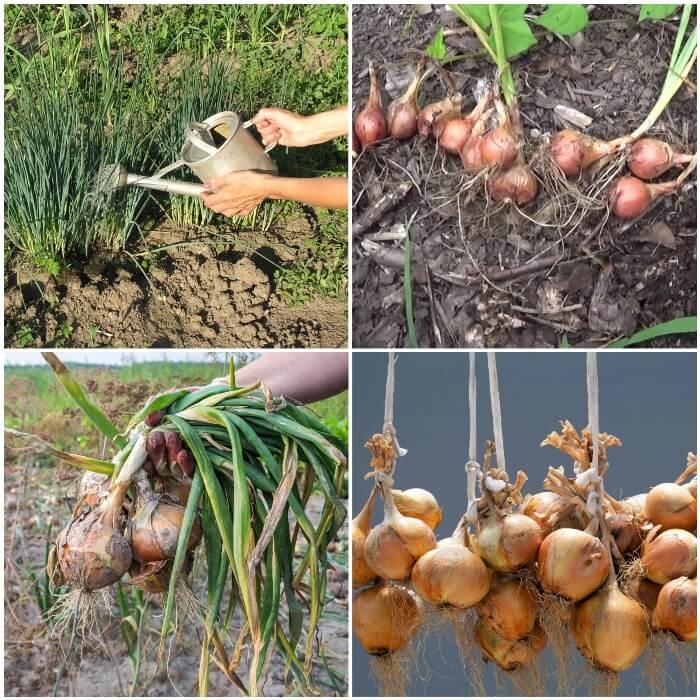 Pasos para cultivar cebollas