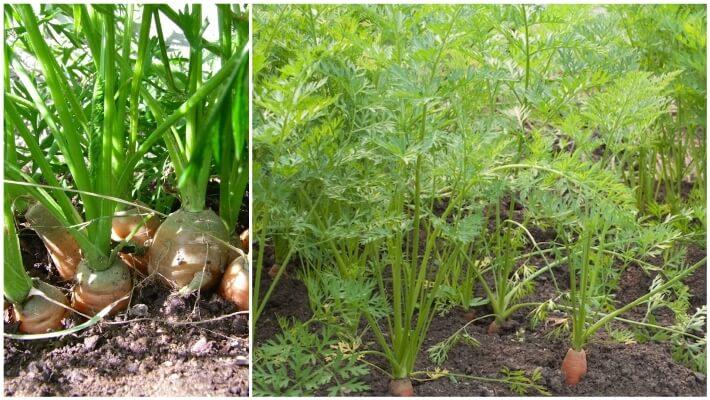planta de la zanahoria